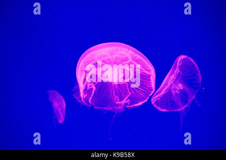 Ohrenquallen (Aurelia aurita) in einem Aquarium. - Stockfoto