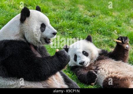 Panda (Ailuropoda lalage) Weiblich mit 1-Jährige cub cookies Essen in Zoo - Stockfoto