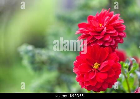 Rote Dahlie Blumen. - Stockfoto