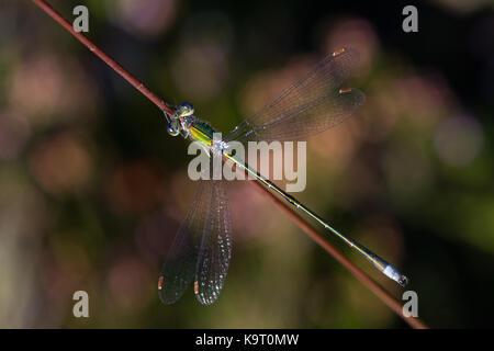 Damselfly, wahrscheinlich eine kleine spreadwing, ruht auf einen Stiel mit Gras - Stockfoto