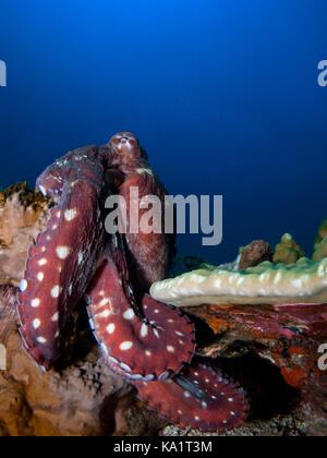 Red Octopus auf blauem Hintergrund auf Riff mit Beinen Curling runde Coral - Stockfoto