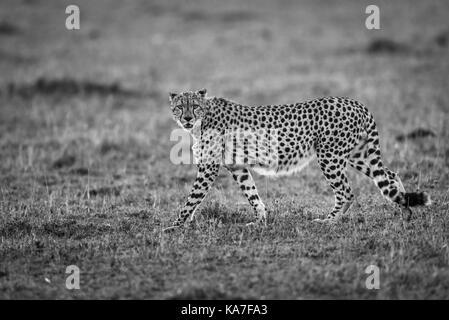 Hintergrundbeleuchtung nach Geparden (Acinonyx jubatus) gemächlich zu Fuß am frühen Morgen Licht über die Savanne - Stockfoto
