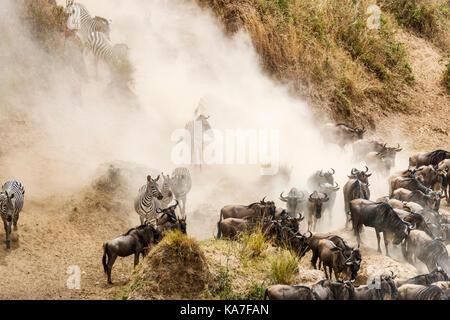 Herden von streifengnu (connochaetes Taurinus) und Zebras (Equus burchellii) zu erfassen, indem sie den Fluss Mara für eine Überfahrt, Masai Mara, Kenia Stockfoto