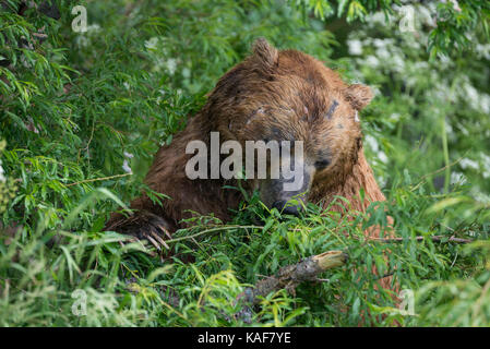 Braunbär, Kuril-See, Kamtschatka, Russland. - Stockfoto