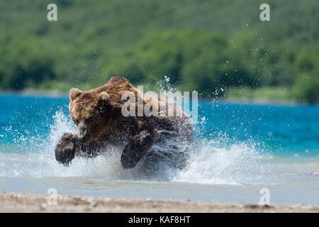 Brauner Bär, der sich auf sockeye Lachse, Kamtschatka, Russland. - Stockfoto