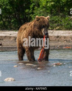 Brauner Bär Fütterung auf sockeye Lachse, Kamtschatka, Russland. - Stockfoto