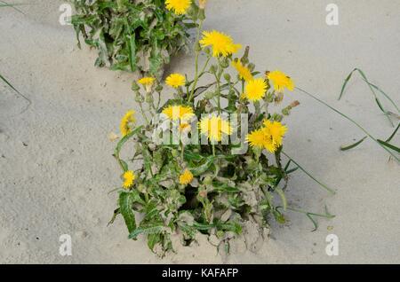 Autos ohr Hypochaeris radicata Blumen wachsen auf wanderdünen Pembrey Burrows und Saltings Naturschutzgebiet Millennium - Stockfoto