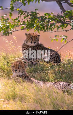Gepard (Acinonyx jubatus), zwei Subadult Tiere ruhen unter einem Baum - Stockfoto