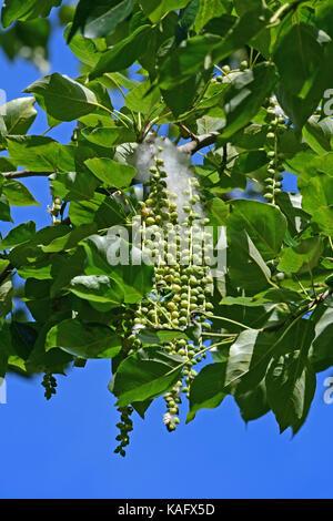 Schwarzpappel (Populus nigra) Zweige mit Blättern und Samen, die durch weiche, weiße Haare umgeben - Stockfoto