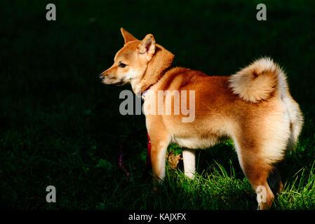 Shiba Inu (Japan Spitz - art brut) Hund im Lichtpunkt - Stockfoto