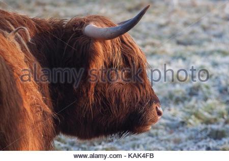 Porträt eines Highland Cattle mit langen Hörner auf einem schneebedeckten Feld im Winter. - Stockfoto