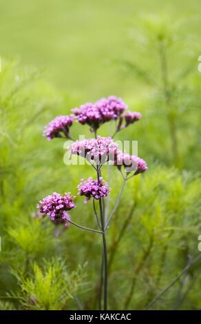 Verbena bonariensis. Argentinische vervain Blumen im Herbst. - Stockfoto