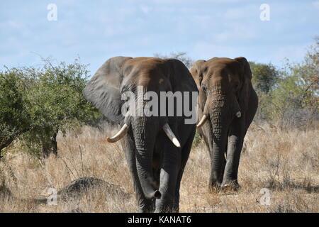 Nach Elefanten im Krüger National Park, Südafrika - Stockfoto