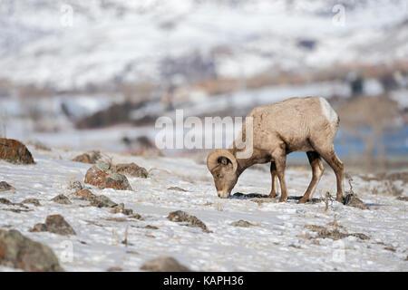 Rocky Mountain Bighorn Sheep / Dickhornschaf (Ovis Canadensis), ram im Winter ernähren sich von Gräsern zwischen - Stockfoto