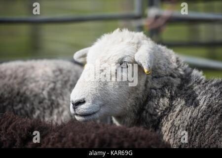 Herdwick-schafe urteilen, südlichen Landwirtschaft zeigen, Insel Man. - Stockfoto