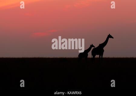 Die Giraffen auf den Ebenen in Silhouette auf herrlichen afrikanischen Sonnenuntergang im Masai Mara, Kenia - Stockfoto