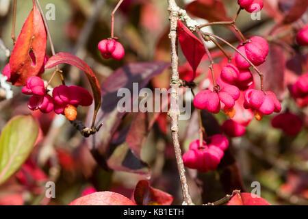 rote bl tter im herbst von der spindel baum euonymus alatus stockfoto bild 36802684 alamy. Black Bedroom Furniture Sets. Home Design Ideas