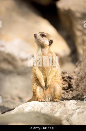 Junge Erdmännchen sitzend auf Rock und Suchen - Stockfoto