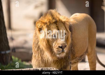 Lion, männlich Big Cat walking im sonnigen Tag - Stockfoto