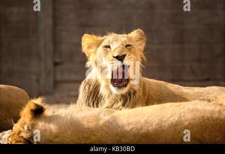Müde junge männliche Löwen gähnen - Stockfoto