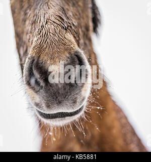 Nasse Islandpferd außerhalb in einem Schneesturm, Island - Stockfoto