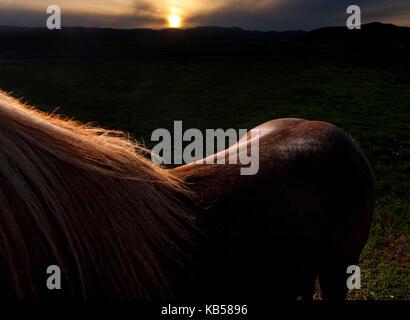 Rim Licht auf braun Islandpferd, Island - Stockfoto