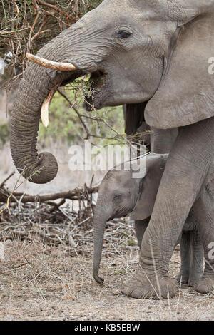 Afrikanischer Elefant (Loxodonta africana) Jugendkriminalität und Mutter, Krüger Nationalpark, Südafrika, Afrika - Stockfoto