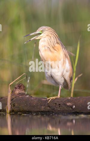 Squacco Heron (Ardeola ralloides) hocken auf einem Bein auf einer schwimmenden anmelden, Ungarn, Bacs-kiskun, Nationalpark - Stockfoto