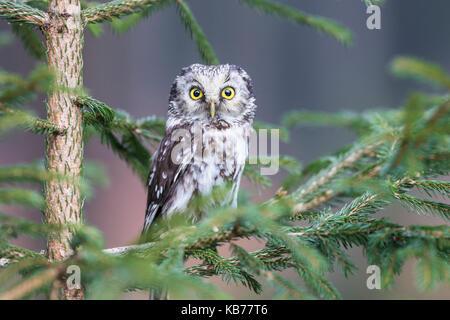 Nahaufnahme einer Boreal Owl (Aegolius funereus) hocken in f eine Tanne (Abies), Tschechische Republik, Südböhmen, - Stockfoto