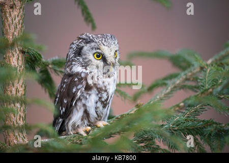 Nahaufnahme einer Boreal Owl (Aegolius funereus) thront oben auf eine Tanne (Abies), Tschechische Republik, Südböhmen, - Stockfoto