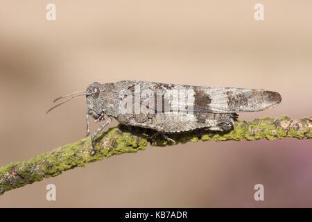 Blue-winged Grasshopper (Oedipoda caerulescens) sitzt auf einem Zweig, der Niederlande, Gelderland, Wiid, Hoge Veluwe - Stockfoto