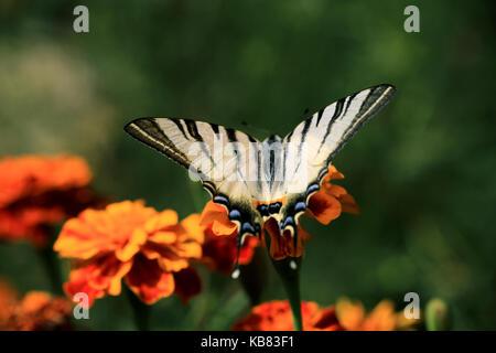 Schöne Tiger Swallowtail Butterfly On a Marigold flower - Stockfoto