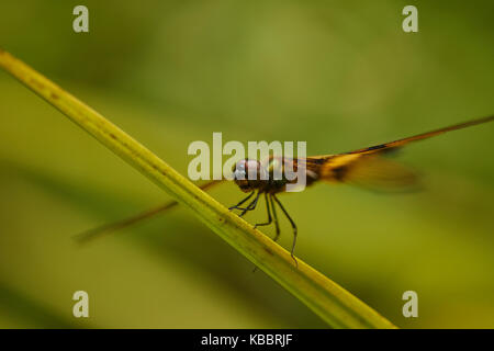Markante Nahaufnahme von roten Skimmer oder Feuerwerkskörper Libelle. Libellula saturata. Sehr detaillierte closeup - Stockfoto