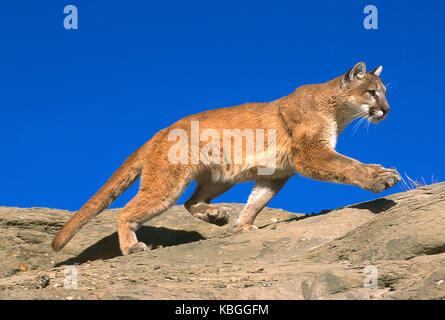 USA. Montana. Tierwelt. Mountain Lion. - Stockfoto