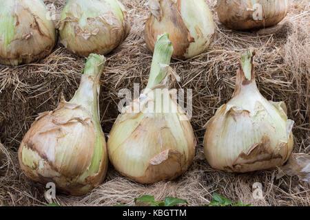 Große Zwiebeln auf Anzeige bei Daylesford Organic Farm Shop Herbstfest. Daylesford, Cotswolds, Gloucestershire, - Stockfoto