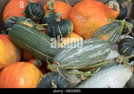 Kürbis, Kürbis und Squash Anzeige bei Daylesford Organic Farm Shop Herbstfest. Daylesford, Cotswolds, Gloucestershire, - Stockfoto