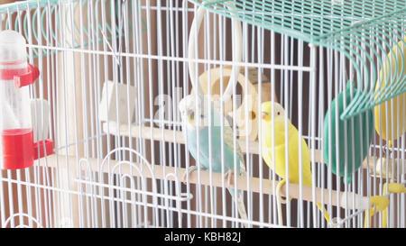 Warten auf Freiheit - ein eingesperrter Gelb Schöne australische Papagei. Große bunte Papagei in den weißen Käfig. - Stockfoto