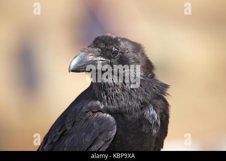 Raven, Corvux Coral, auf der Insel Fuerteventura auf den Kanarischen Inseln - Stockfoto