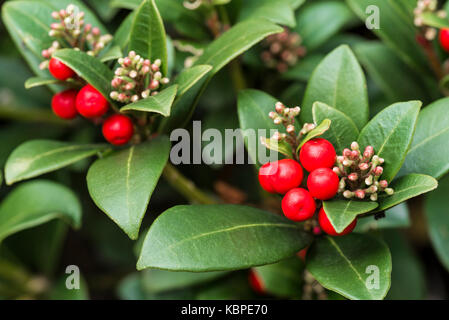 Skimmia japonica olympische Flamme, rote Beeren - Stockfoto
