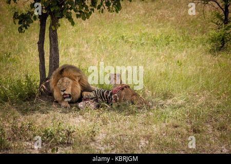 Männliche Löwe und Cub auf einem Zebra töten in Gras unter Baum - Stockfoto