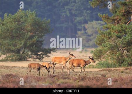 Nahaufnahme eines weiblichen Rotwild doe und fawn Cervus elaphus und Beweidung in Heide während der Brunftzeit posieren. - Stockfoto
