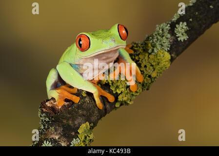 Nahaufnahme, Porträt einer Red Eyed Tree Frog Balancieren auf einem Zweig auf einen einfachen natürlichen Hintergrund - Stockfoto