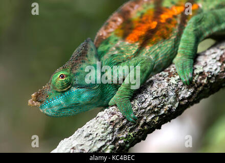 Männliche Panther chameleon (calumma parsonii), (chameleonidae), endemisch auf Madagaskar, andasibe Nationalpark, Madagaskar