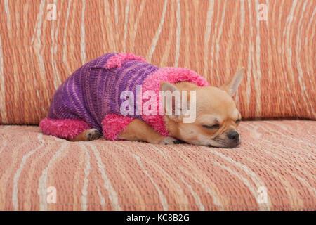 Zimt chihuahua Welpen gekleidet mit Pullover schlafen auf einem Sofa, 4 Monate alte Hündin. - Stockfoto