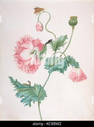 Ein poppiger in drei Phasen der Blüte, mit einer Raupe, Puppe und Schmetterling, Johanna Helena Graff, Ende des - Stockfoto