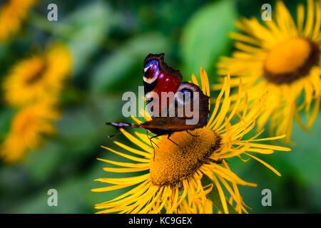 Seite Winkel betrachten der schönen europäischen Tagpfauenauge oder Nymphalis io sammeln Pollen von Gelbe Blume - Stockfoto