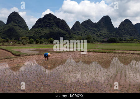 Mann bei der Arbeit als Bauer im Reisfeld, pflanzen Reis pflanzen in Yangshuo Landschaft, Guangxi, China, Asien. - Stockfoto