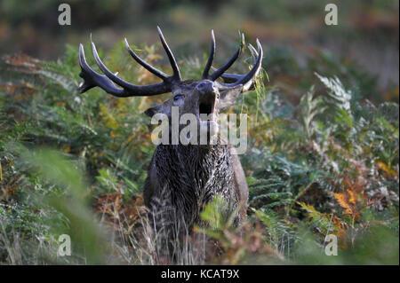 London, Großbritannien. 4. Oktober 2017. UK Wetter. Ein Hirsch röhrt wie Rotwild nehmen Sie Teil an den jährlichen - Stockfoto