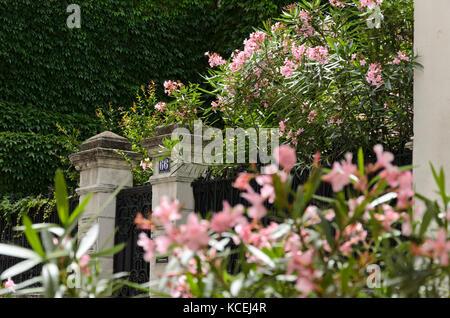 Oleander (Nerium oleander) - Stockfoto