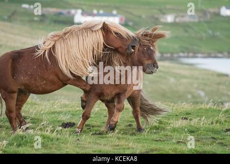 Pferde kämpfen - Shetland Ponys in die Shetlandinseln, Schottland, Großbritannien kämpfen - Stockfoto